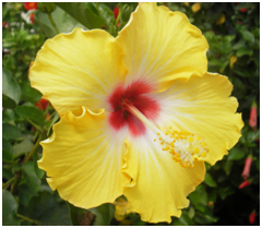 Yellow Hibiscus flower with red center