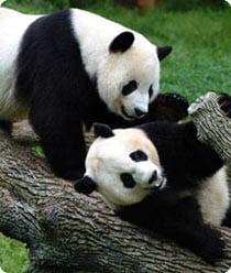 pandas at national zoo