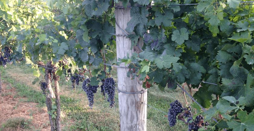 wine-grapes (1)