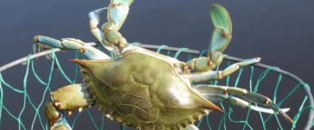 Maryland blue crab in a net