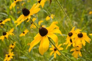 The Maryland state flower, black eyed susans
