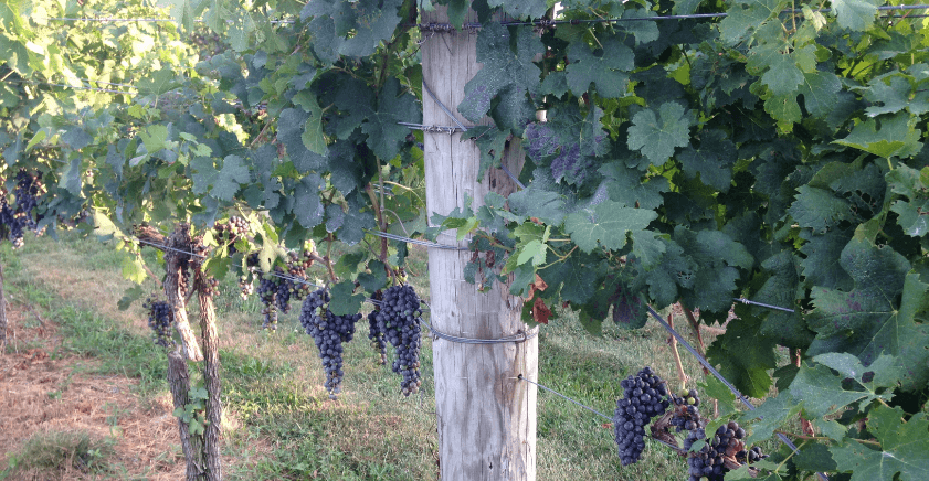 wine-grapes (1)