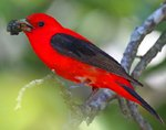 photo of a Scarlet Tanager from the Patuxent Wildlife Refuge website